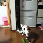 キュウリに驚くネコのとんでもない動き