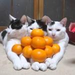 みかんを積み上げられるも動じない猫の映像が面白い(笑)