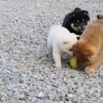 白・黒・茶の柴犬の子いぬが楽しそうに遊んでいる姿にキュン死注意!