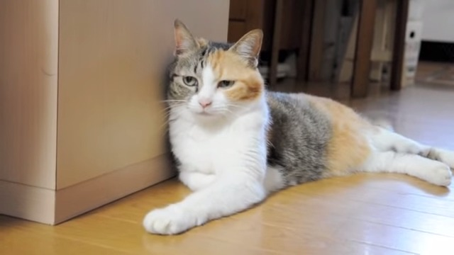 壁に寄りかかろうとするも、あると思っていた壁がなくそのまま倒れこむかわいすぎる猫♡