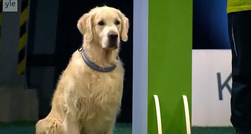 ドッグレースに参加するも、すべての仕掛けにかかってしまうゴールデンレトリバー犬が笑える(笑)