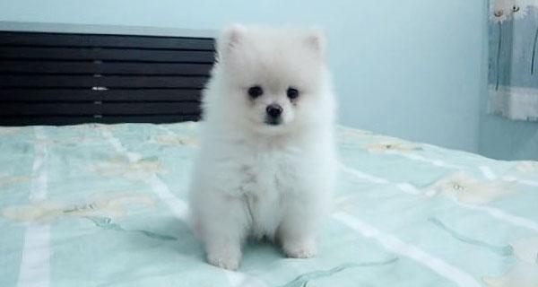 もふもふでかわいいポメラニアンの子犬を文字通りもふりたい